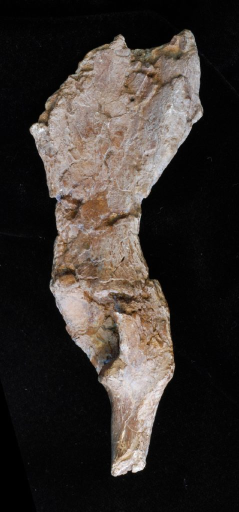 10 Million Year Old Fossil Pelvis