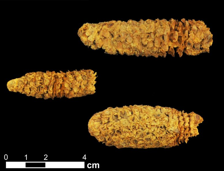 Three Roughly 2,000-Year-Old Corn Cobs