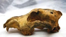 33,000 year old skull of a domesticated dog found in Siberia.