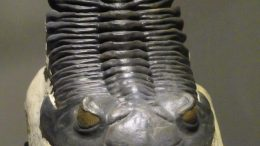 400 Million Year Old Trilobite Hollardops Mesocristata