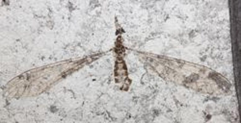 54 Million Year Old Cranefly