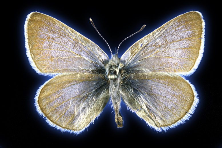 93-Year-Old Xerces Blue Butterfly Specimen