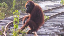 A Dramatic Decline of Bornean Orangutans