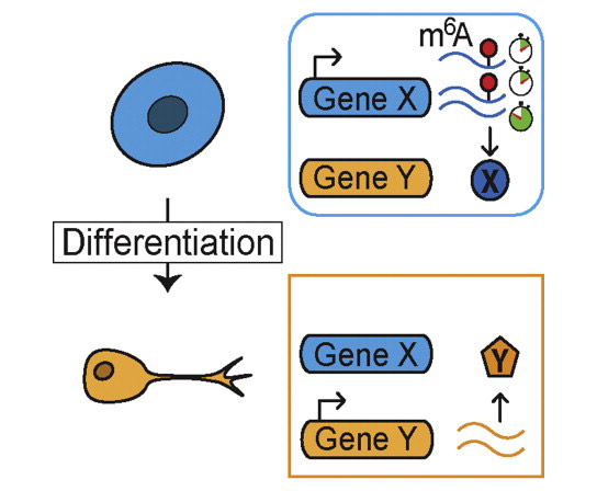 A New Strategy to Control Cellular Identity and Fate
