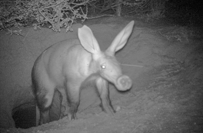 Aardvark at Night