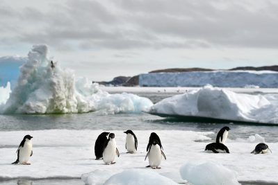 Adelie Penguins Ice Free Summer