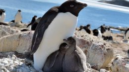 Adelie Penguins Lutzow Holm Bay