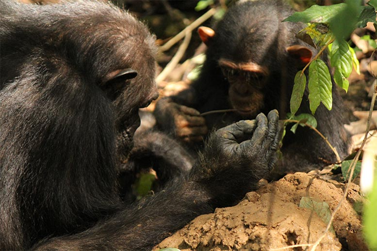 Adult Chimpanzee and Infant