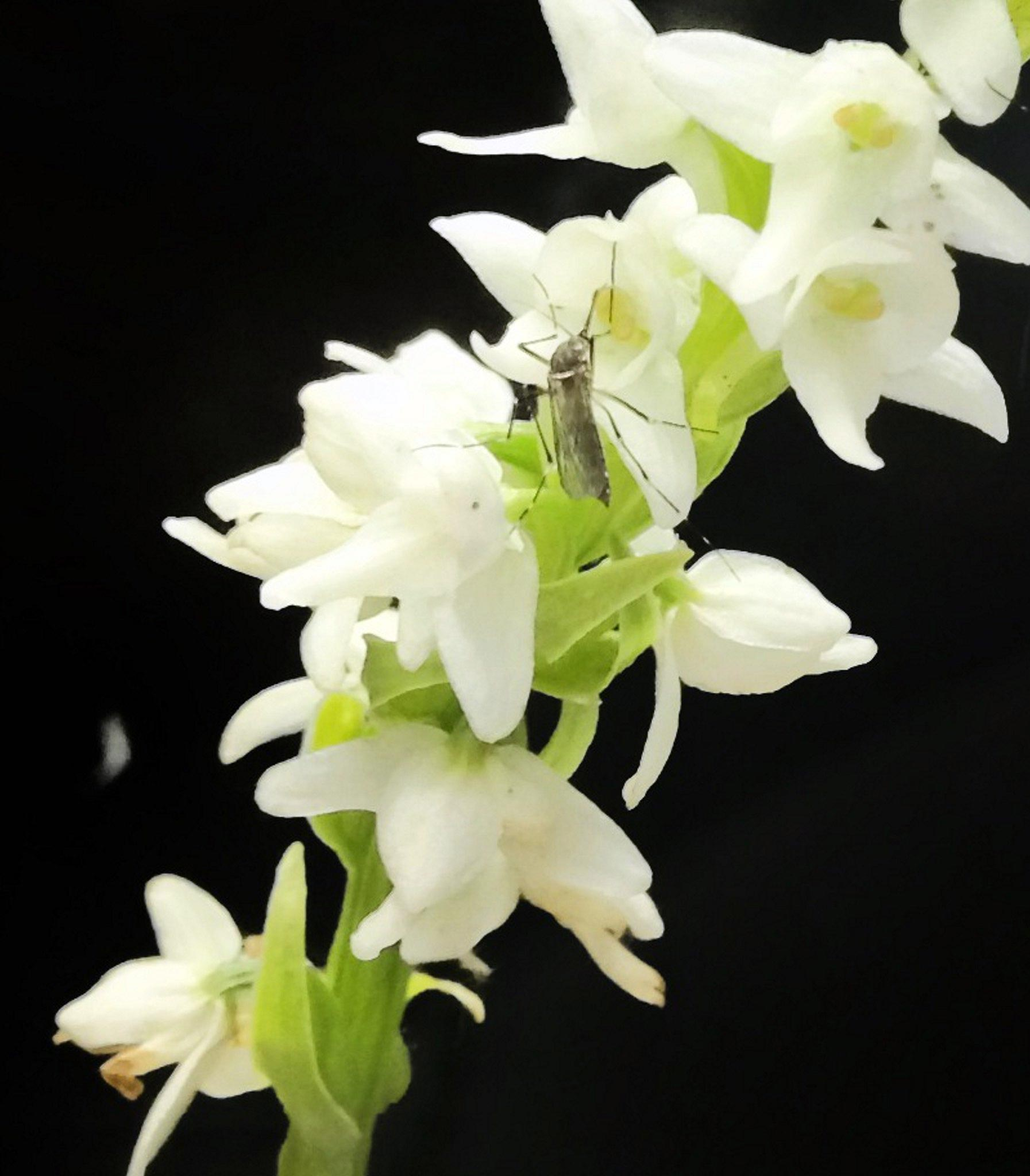 Mosquitoes Are Drawn to Flowers As Much as People — Now Scientists Finally Know Why - SciTechDaily