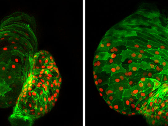 Ajuba regulates stem cell activity in the heart