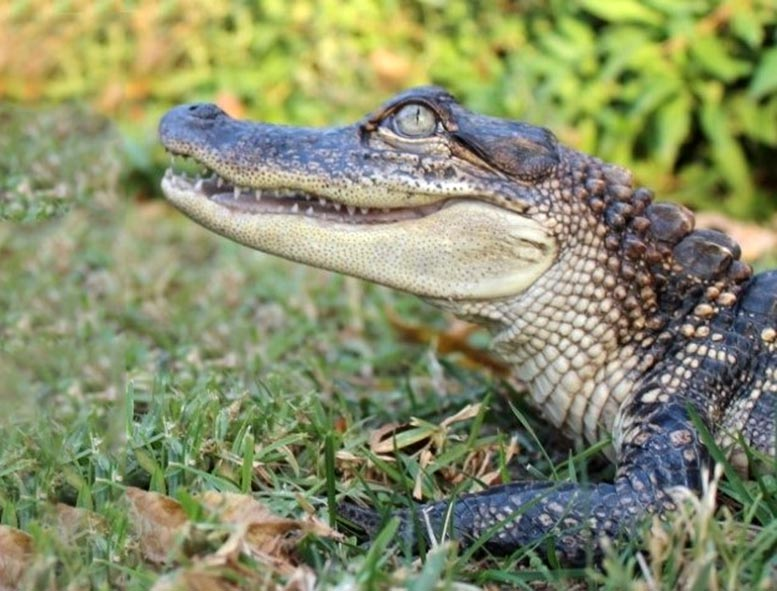 Alligator and Human Hearts Share Similar Structure