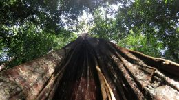 Amazon Drought Affects Larger Trees More Severely