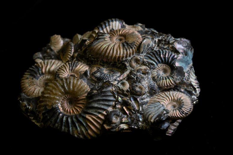 Ammonites Fossil Group