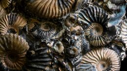 Ammonites Group Fossil