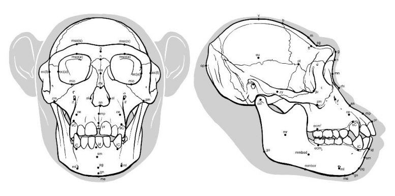 Ancient Hominid Reconstruction