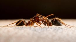 Angry Ants Fighting