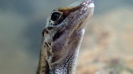 Anolis Lizard With Rebreathing Bubble on Snout