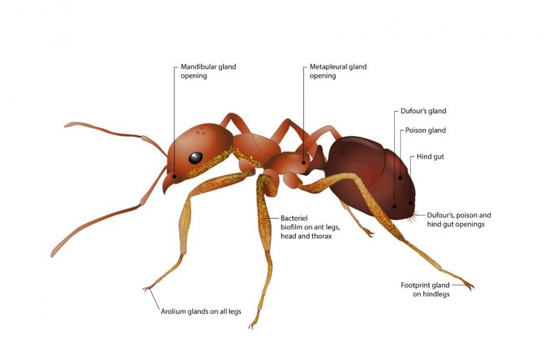 Ant Gland Illustration