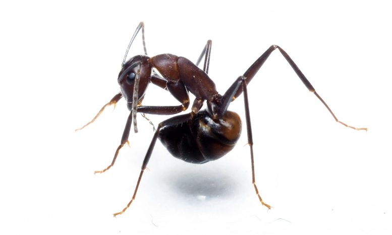 Ant Trying to Reach Its Acidopore