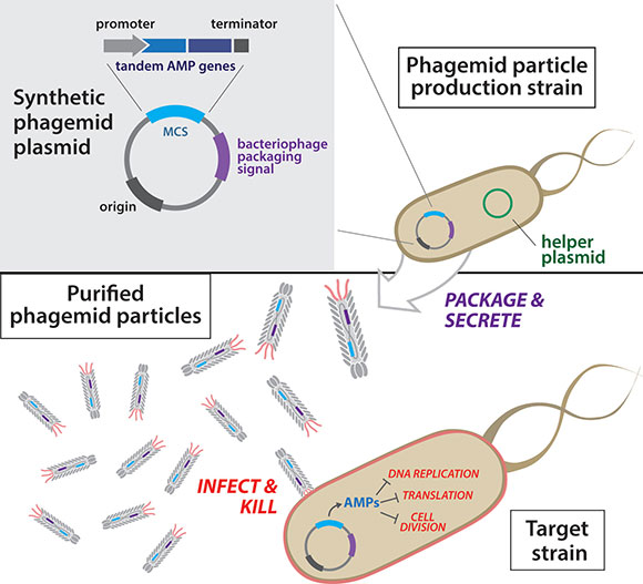 Overview of antibacterial phagemid construction. Phagemid plasmids are first transformed into a production strain harboring a helper plasmid. Next, secreted phagemid particles are isolated from the production strain and purified. Resulting engineered phagemid particles are then used to infect target bacteria.