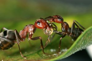 Ants Provide Clues to Why Biodiversity is Higher in the Tropics