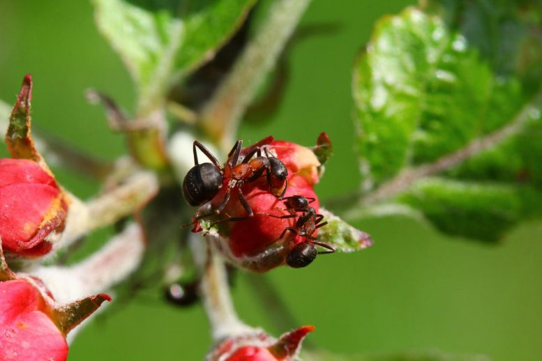 Ants in Apple Plantation