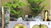 Apples Used to Test Koch's Postulates