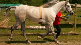 Arabian Race Horse