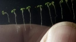 Arabidopsis thaliana Seedlings