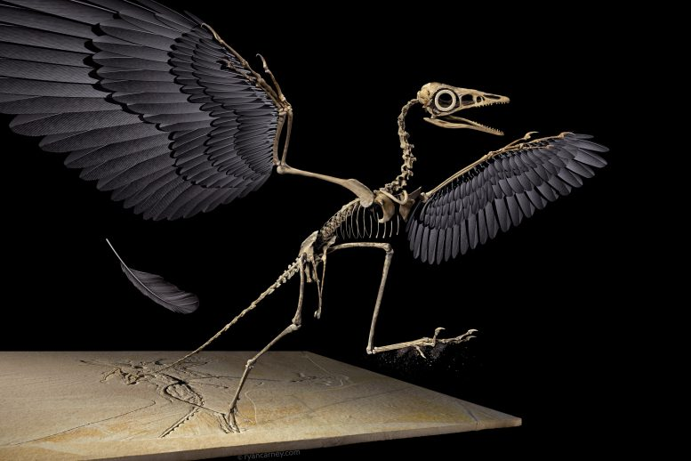 Archaeopteryx 3D Reconstruction