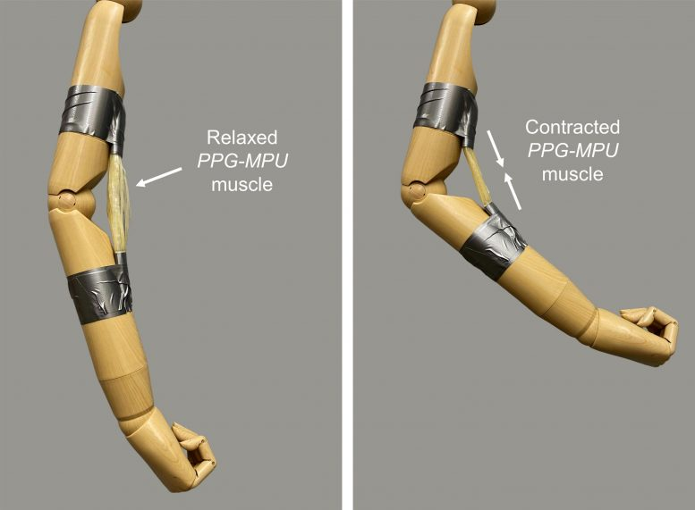 Artificial Muscle Made of Stretched Shape Memory Polymer
