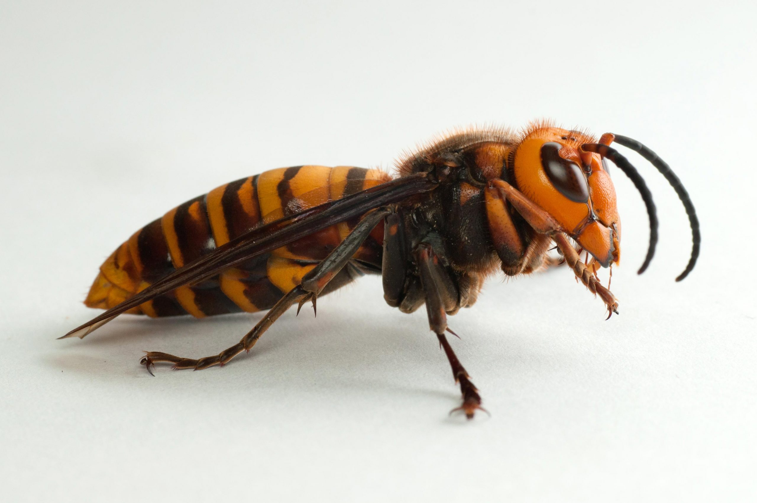 Murder Hornets Defeated by Feces Bees Use to Protect Hives