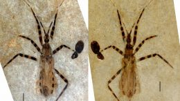 Assassin Bug Fossil