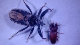 Assassin Bug and Broad-Horned Flour Beetle