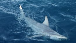 australian hybrid sharks blacktip oceans species evolution