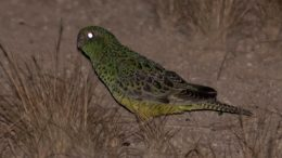 Australian Night Parrot Dark