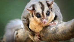 Australian Squirrel Glider