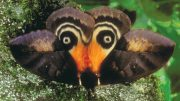 Automeris-egeus-moth