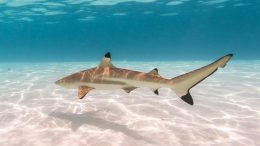 Baby Blacktip Reef Shark