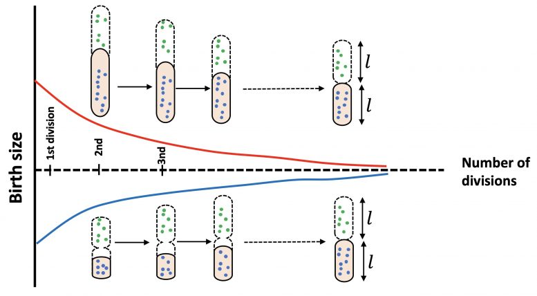 Bacteria Size Shape Theoretical Model
