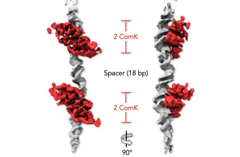 Bacterial DNA and ComK Proteins