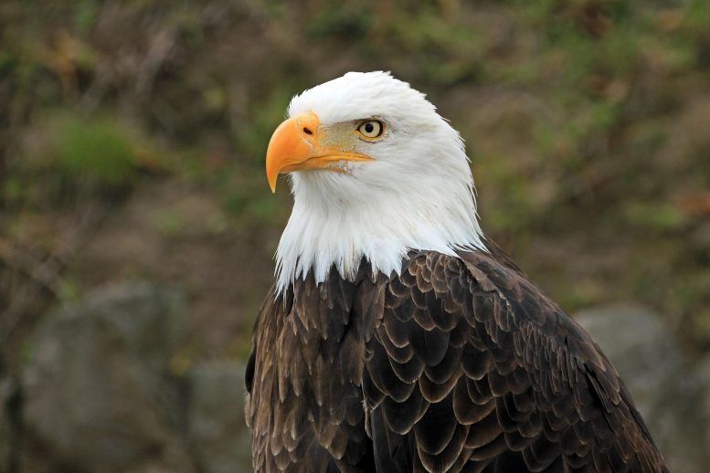 Bald Eagles Across America Infected By Newly Discovered Virus