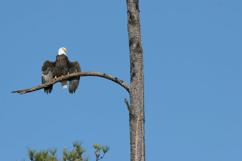 Bald Eagle Drooped Wings