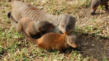 """A Fair Society Evolves From """"Veil of Ignorance"""" – Mongooses Solve Inequality Problem"""