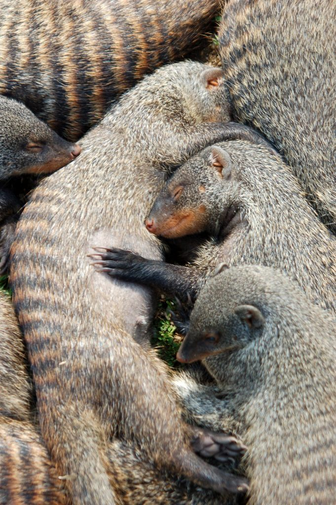 Banded Mongooses Snuggle