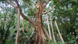 Banyan Strangler Fig Tree