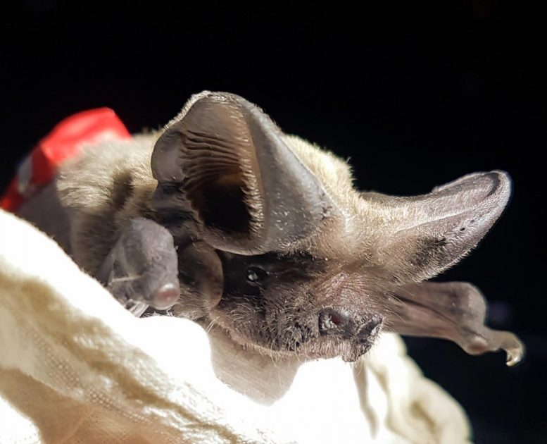 Bat With GPS Tag on Back
