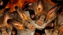 Bats in India