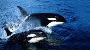 Battle Between Killer Whales And Sharks