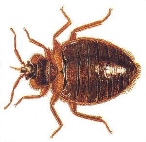 Bedbugs Are Successful Because Of Inbreeding